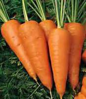 Red_core_chantenay_carrots