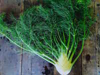 Fennel_fronds_web